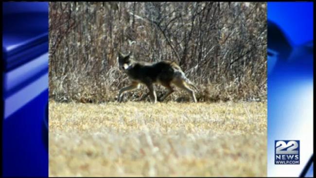 coyote westfield_801805