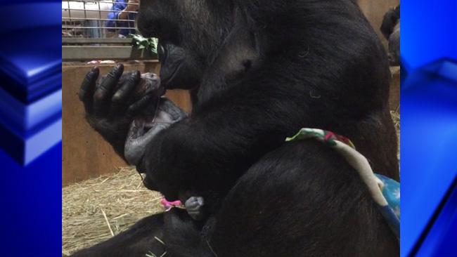 gorilla baby_1523981025143.jpg.jpg