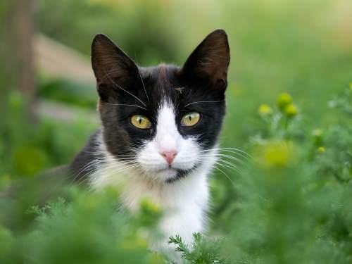 all about tuxedo cats