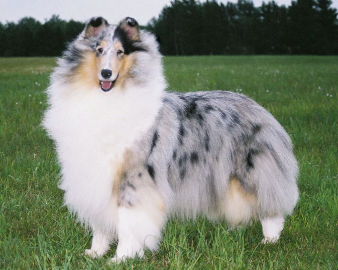Blue Merle Collie - Ch. Twin City Wyndlair Anthem