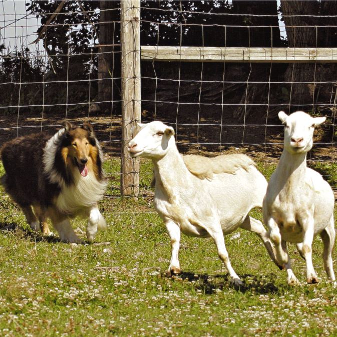 Collie Herding Sheep