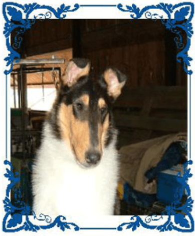 Tri-Color Smooth Collie - Ch. Wyndlair Baliclare Let's Roll
