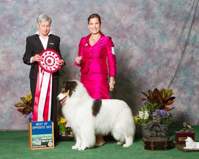 White Rough Collie - Ch. Wyndlair Classique Incandescent