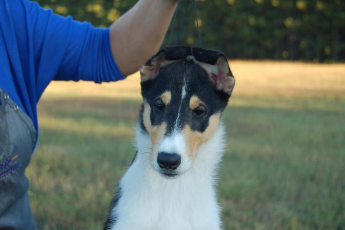 Ch. Wyndlair Classique Enchanted - Tri-Color Smooth Collie puppy