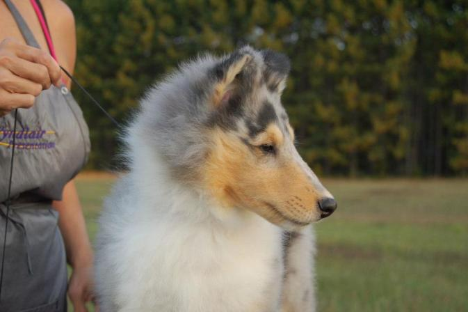 Ch. Wyndlair Arindel Zaikov - Blue Merle Collie Puppy