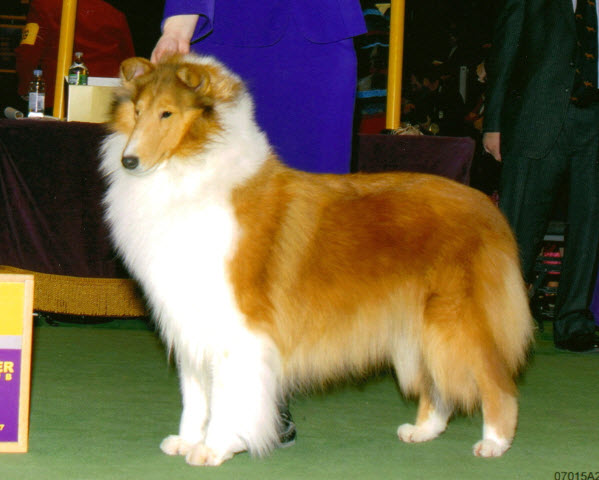 Sable & White Rough Collie