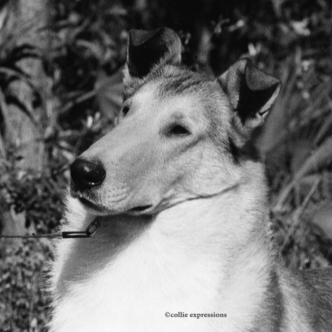 Ch Pinewynd's Sparkling Brut - Smooth Sable Collie