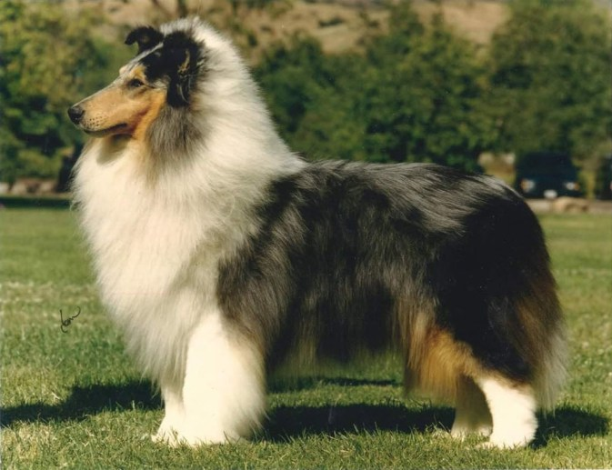 Ch. Gambit's Freeze Frame - Blue Merle Rough Collie