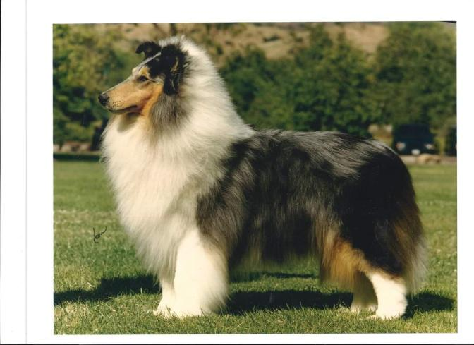 Gambit's Freeze Frame - Blue Merle Rough Collie
