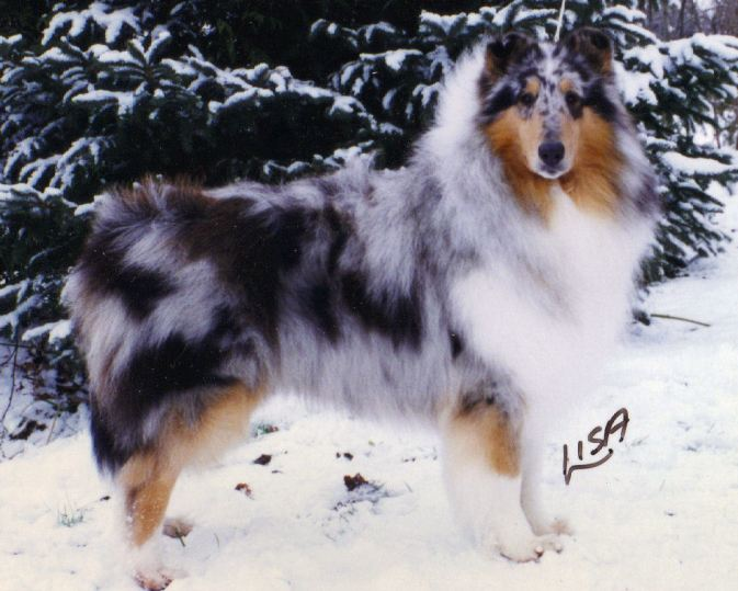 Blue Merle Collie Canada - Ch. Wyndlair Thunder Heart