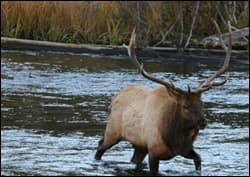 An elk navigates a stream. <br>Photo Credit: Tory & Meredith Taylor