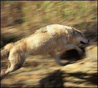 elkvswolf4