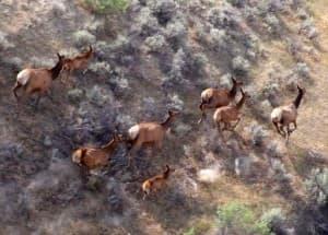 Fortification Creek elk