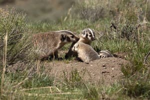 A mother badger greets her litter at their burrow in Yellowstone National Park. (photo ©Meg Sommers — click to enlarge)