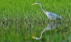 A great blue heron prowls shallow waters in Yellowstone National Park in July 2010. (photo ©Rob Koelling — click to enlarge)