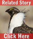 Sage Grouse Strategy