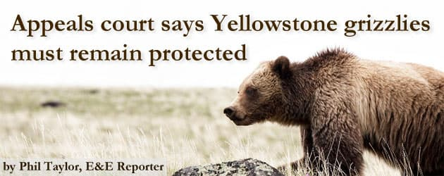 Appeals court says Yellowstone grizzlies must remain protected