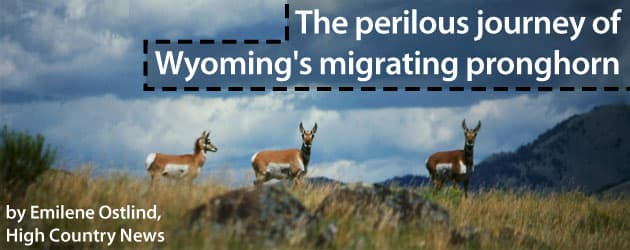 The perilous journey of Wyoming's migrating pronghorn