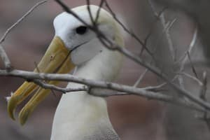 A close-up shot of an albatross. Seabirds, trading freely among the islands, are the same species no matter where they are found, although some limit their haunts to only one or two islands. (RT Cox/WyoFile - click to enlarge)