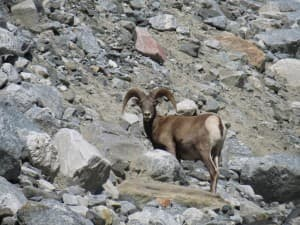A big horn sheep stands in Leigh Canyon in Grand Teton National Park. (Courtesy of the National Park Service — click to enlarge)