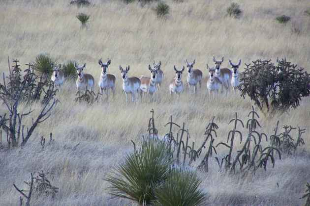 Pronghorn antelope graze in a New Mexico plain. (Courtesy of Bureau of Land Management — click to enlarge)