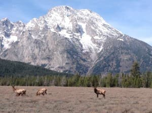 Elk graze amid sagebrush with Mount Moran towering above.  (Courtesy Jackie Skaggs Grand Teton National Park — click to enlarge)