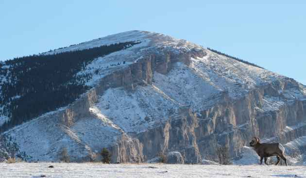 Bighorn sheep tours - Wyoming