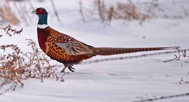 ring-necked pheasant – Wyoming