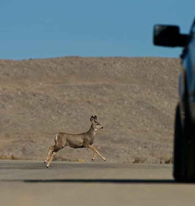A mule deer crosses Forest Service Road 111 near Fremont Lake. (Joe Riis — click to enlarge)