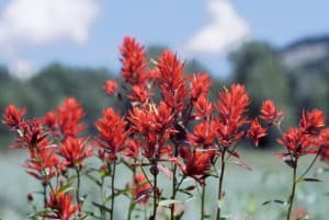 Wyoming wildflowers: Indian paintbrush -- Wyoming State flower (click to enlarge)