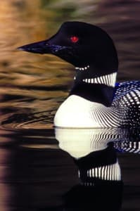 Common loon (Photo courtesy Dan Poleschook, Biodiversity Research Institute - click to enlarge)