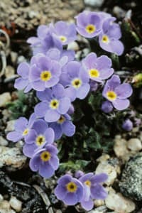 Wyoming wildflowers: Alpine forget-me-not  — Official flower of Grand Teton National Park (click to enlarge)