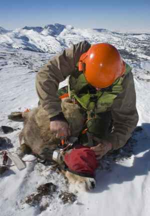Wes Livingston, mugger with Leading Edge, applies a GPS collar to a blindfolded bighorn ewe. During winters 2008 and 2009, the study deployed GPS store-on-board collars on 28 bighorn sheep ewes in the Teton Range. Ninety-three percent of ewes were pregnant at time of capture, and all ewes tested negative for 12 common bighorn sheep diseases. (Mark Gocke / WGFD — click to enlarge)