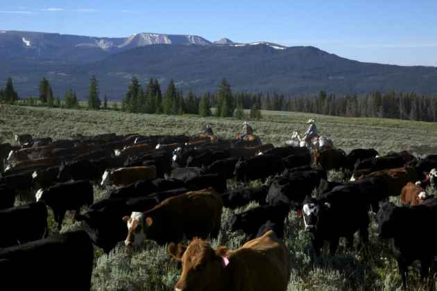 Riders guide a herd of cattle during a mid-summer pasture move through grazing allotments in the Wind River Mountains of Wyoming. (Cr. Geoff O'Gara - click to enlarge)