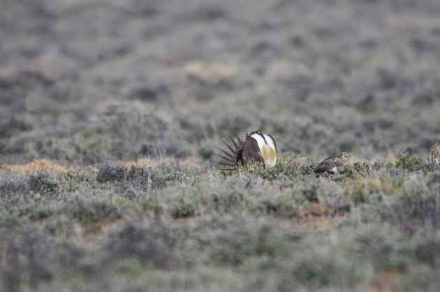 The sagebrush ecosystem is home to unique plant and wildlife species, and is very important to the overall ecological health of eastern Oregon. Many birds and mammals depend on sagebrush ecosystems in the western United States for survival.