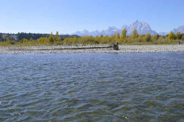 The Grand Teton looms large as viewed while drifting down the Snake River in autumn. (photo by Emilene Ostlind -  click to enlarge)
