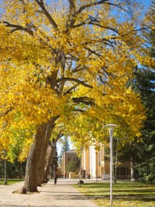 Cottonwoods arch over a sidewalk at the University of Wyoming campus. (Gregory Nickerson/WyoFile — click to enlarge)