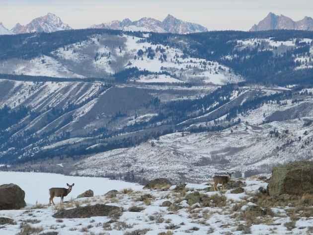 mule deer wind river mountains