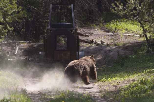 Grizzly bear no. 179 heads into the forest have a capture. (click to enlarge)