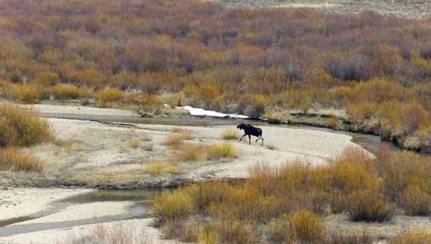 A moose traverses wetlands at the inlet to New Fork Lake in Sublette County where the state will likely study raising a dam and the lake level. Among the worries about expanding existing impoundmens is the potential loss of wetlands, which has emerged as a problem with a plan to enlarge another Sublette County reservoir, Big Sandy. (Angus M. Thuermer Jr./WyoFile - click to enlarge)