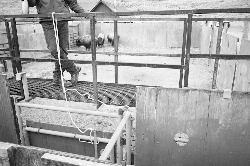 On their way to slaughter three bison huddle in a corner of a pen below the catwalk used by workers to steer them through a maze of alleys at Stephens Creek. Plywood encloses the pens to reduce stress to the bison, the Park Service says.(Angus M. Thuermer Jr/WyoFile)