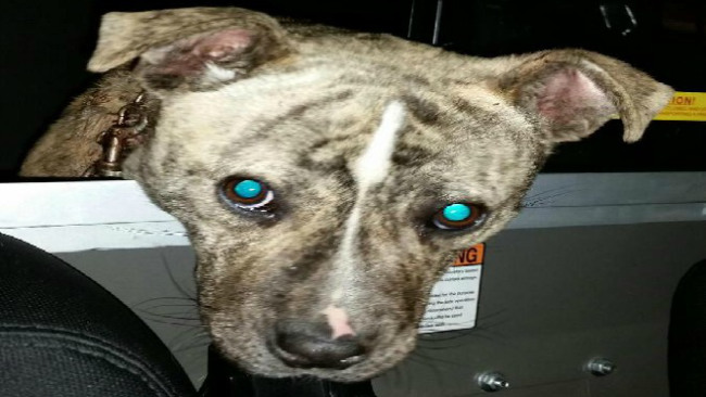 warren pd rescues dog with embedded collar_30657
