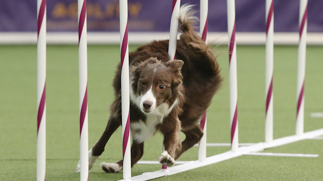 Masters Agility Championship the Westminster Kennel Club_30467