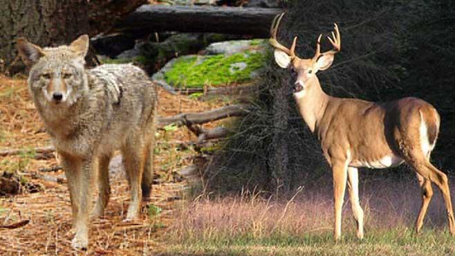 coyote-deer_42705