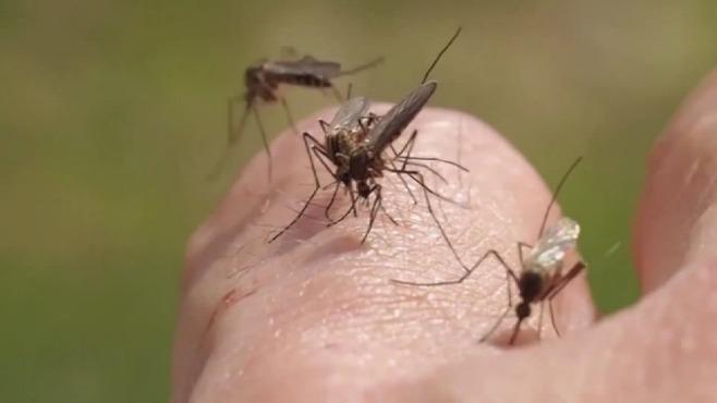 mosquito generic_133773