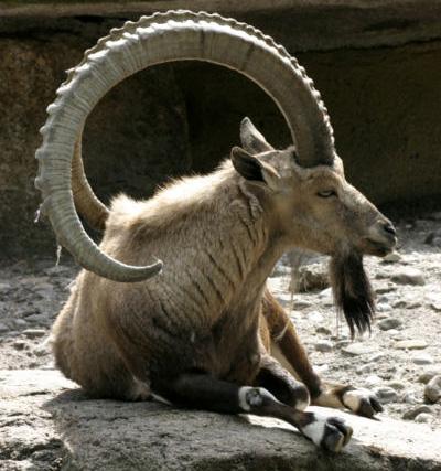 """Trong số những động vật, dê là loài được xem rất khỏe trong chuyện """"chăn gối""""."""