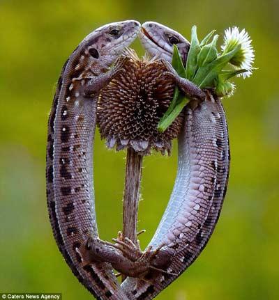 Thằn lằn đực đang tình tứ tặng hoa cho thằn lằn cái