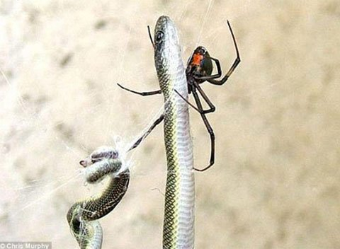 Xem nhện bắt rắn