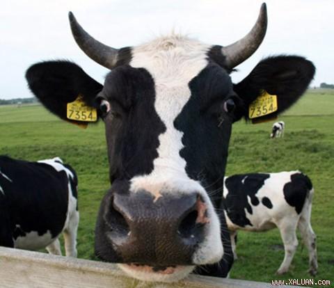 Con bò có cái đầu ngoại cỡ.