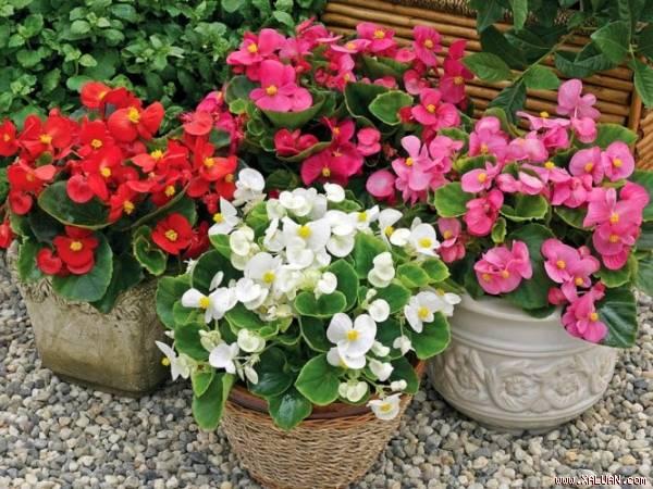 Kỹ thuật trồng cây, chăm sóc Thu Hải Đường đúng đắn sẽ cho ra những chậu hoa cảnh đẹp. Ảnh minh họa